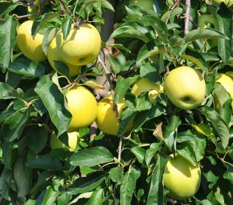 Äpfel Golden Delicious